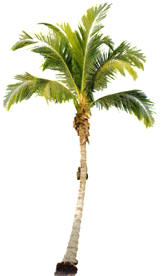 palm_tree_PNG2489